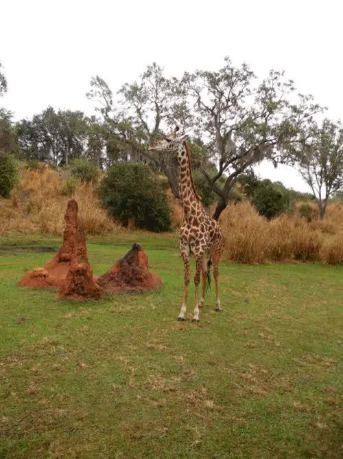 Watch and share Kilimanjaro Safari GIFs and Walt Disney World GIFs on Gfycat