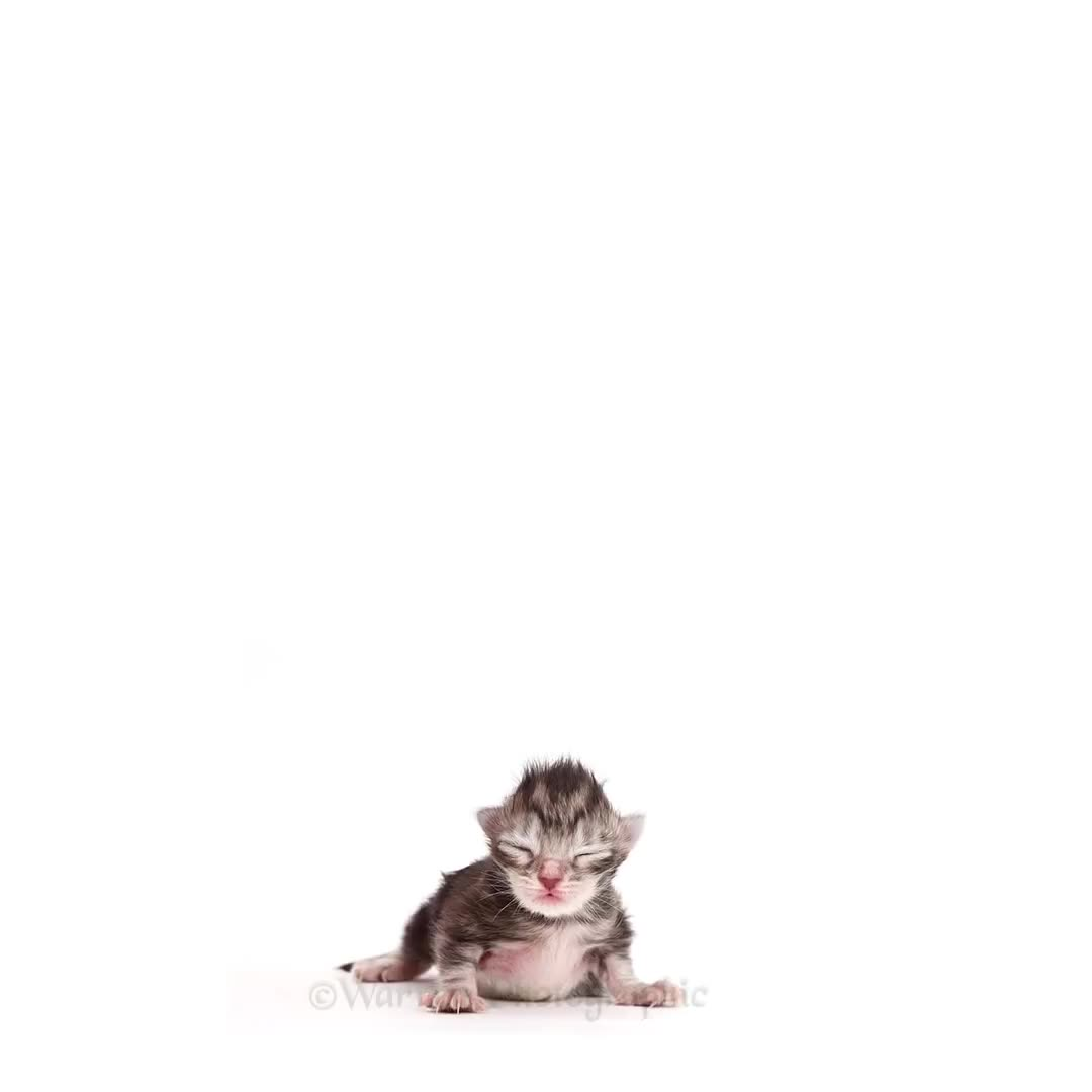 Maine Coon, Morph, Morphing, Tabby, Warren Photographic, cat, growing up, kitten, time lapse, timelapse, Kitten to Cat super fast time lapse GIFs