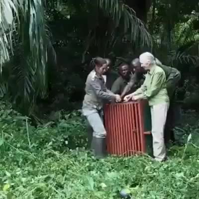 r/sciences, Jane Goodall and team release a rehabilitated chimp back into the wild GIFs