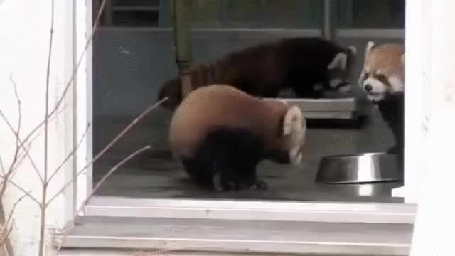 Watch this animal GIF on Gfycat. Discover more animal, animals, red panda GIFs on Gfycat