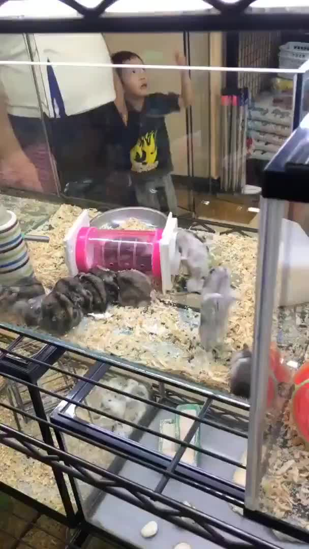 Watch and share Hamster GIFs by Ah Negão on Gfycat
