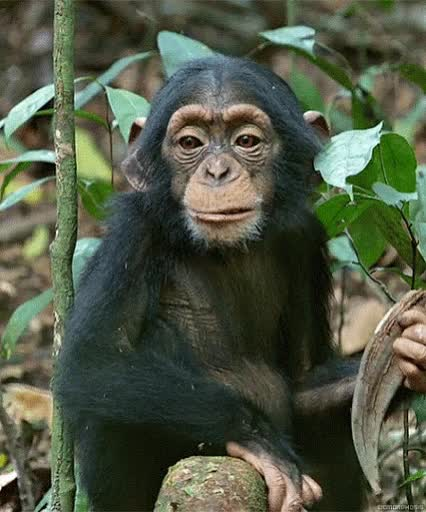 Watch and share Singe, Chimpanze, Monkey, Chimp, Animal Sauvage, Wild GIFs on Gfycat