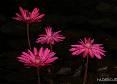 Watch and share Animated Flowers Blooming Gif� GIFs on Gfycat