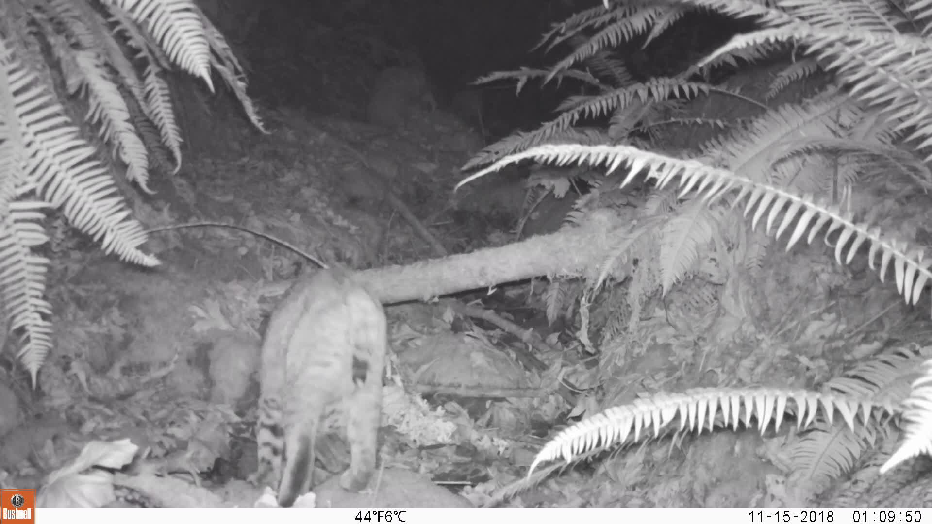 natureismetal, Bobcat kills Opossum GIFs