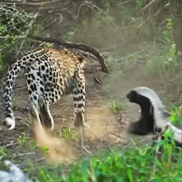 Honey Badger don't give a shit. Mother saves her baby from leopard GIFs