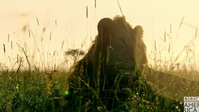 Watch this animal GIF by BBC America (@bbcamerica) on Gfycat. Discover more animal, animals, bbc america, bbc america dynasties, bbc america: dynasties, drama, dramatic, dynasties, lion, lions, pose, stare GIFs on Gfycat