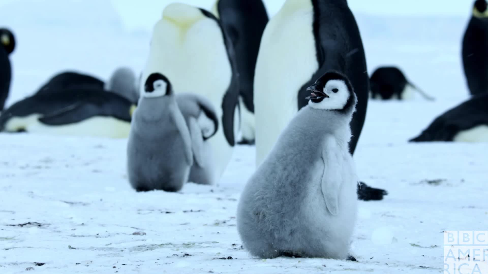 animal, animals, bbc america, bbc america dynasties, bbc america: dynasties, dynasties, emperor penguin, emperor penguins, penguin, penguins, sleep, sleepy, tired, zzz, Dynasties Sleepy Penguin Chick GIFs