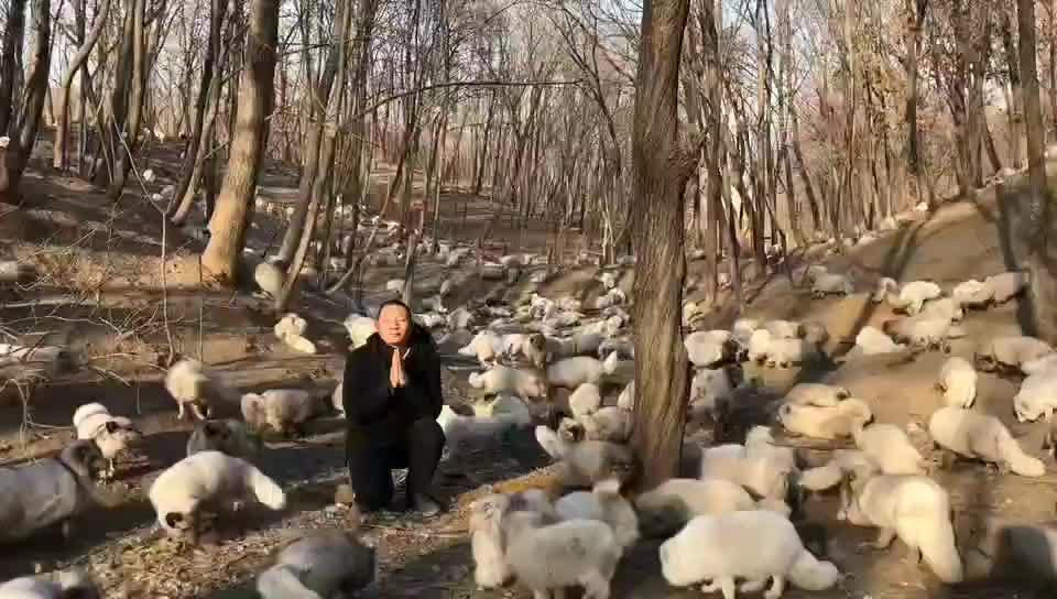 Buddhist monk sits amongst freed fur farm foxes GIFs
