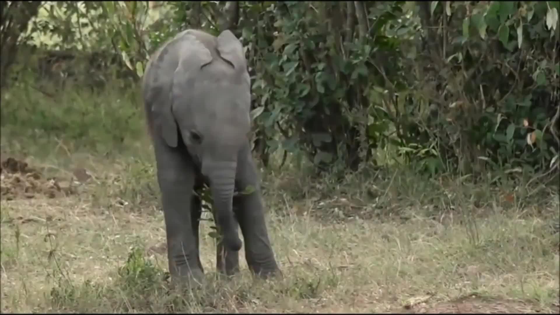 Cute baby elephant and a little bush. GIFs