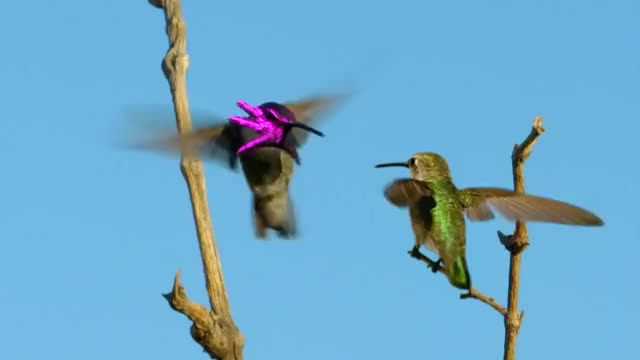 Watch and share Hummingbird Dance GIFs by Terminal on Gfycat