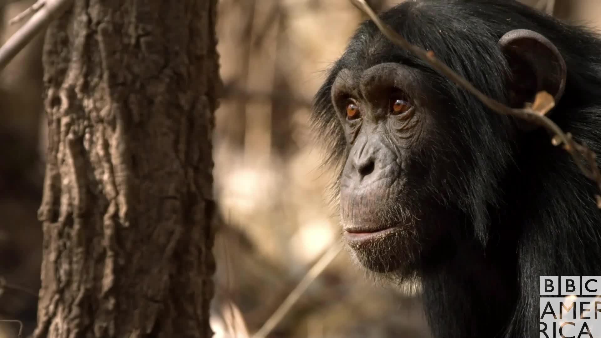 animal, animals, bbc america, bbc america dynasties, bbc america: dynasties, chimp, chimpanzee, chimpanzees, chimps, dynasties, Dynasties Chimp Scared GIFs