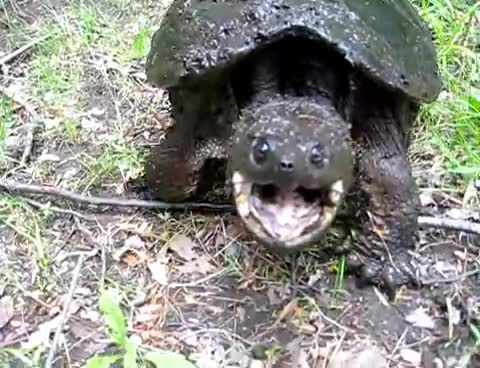 animals, tortoise, turtle, Snapping turtle GIFs