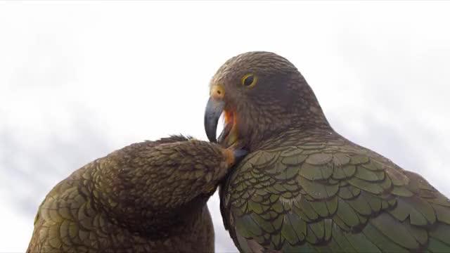 Watch Kea parrots in New Zealand GIF by @b12ftw on Gfycat. Discover more Daredevils, Kea, Keas, Mountain, New Zealand, Parrot, Parrots, Snow GIFs on Gfycat