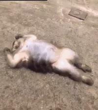 animalgifs, funny, humor, Uhmm.. Sir- I think you forgot something……. GIFs