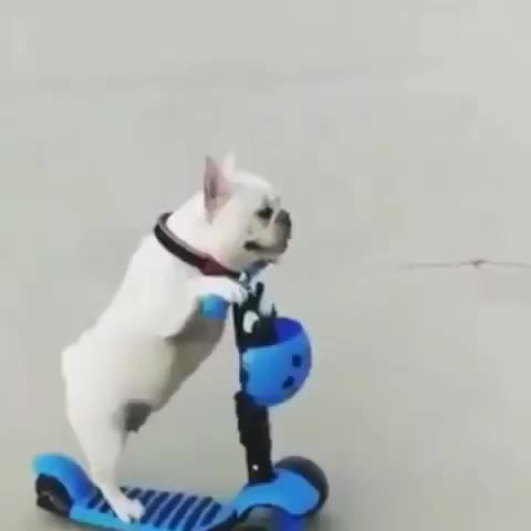 Watch this dog GIF by PracticalProperty (@practicalproperty) on Gfycat. Discover more dog, frenchbull, frenchie, scooter GIFs on Gfycat