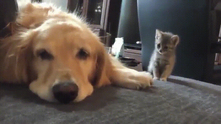 Aww, cute, kittengifs, Hey, wanna be friends? GIFs