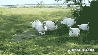 Watch and share Turkeys GIFs on Gfycat