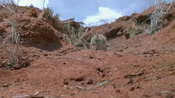 naturegifs, Rufous sengi chased by lizard (reddit) GIFs