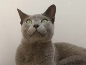 Watch and share Russian Blue GIFs and Russianblue GIFs on Gfycat
