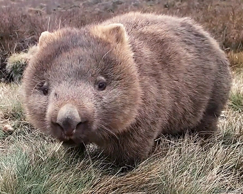 naturegifs, Wombat (reddit) GIFs