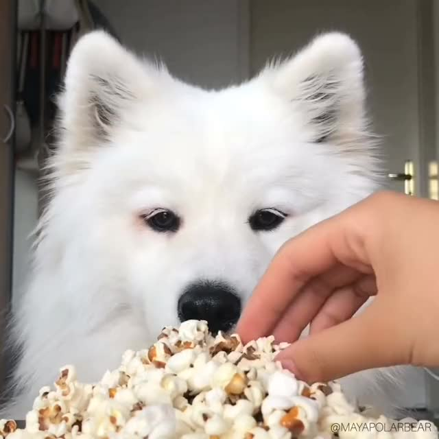 Watch and share Mukbang GIFs and Samoyed GIFs on Gfycat