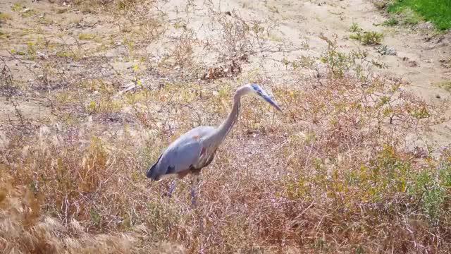 Piano Jazz Swing BLUE GREY HERON HUNTING Bird Watching