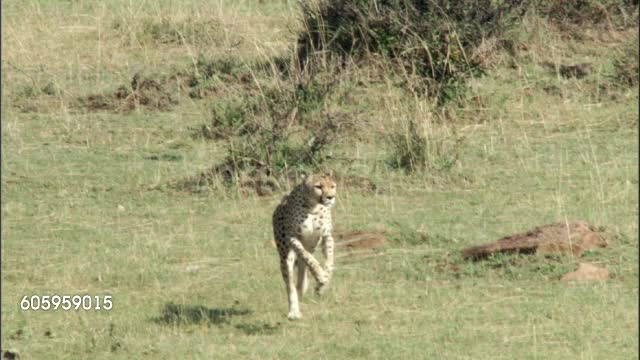 Watch and share The Cheetah's Incredible Speed And Maneuverability GIFs by Pardusco on Gfycat