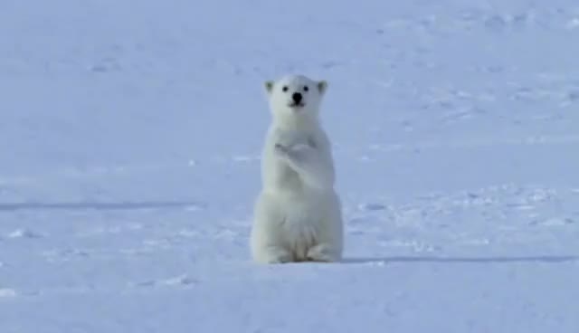 Watch this polar bear GIF on Gfycat. Discover more related GIFs on Gfycat