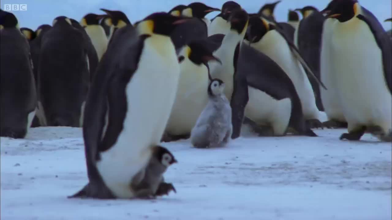 Freezing, Parenting, Survival, animals, antarctica, bbc, bird, chicks, cold, cute, documentary, nature, penguin, penguins, wild, wildlife, Killing with Kindness GIFs