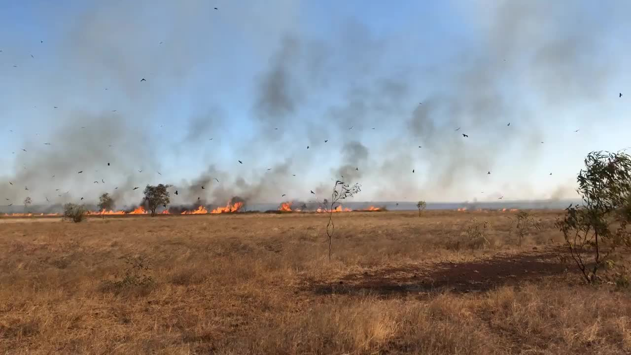 nature, Black Kites follow wildfires in order to capture fleeing prey such as rodents and insects. GIFs