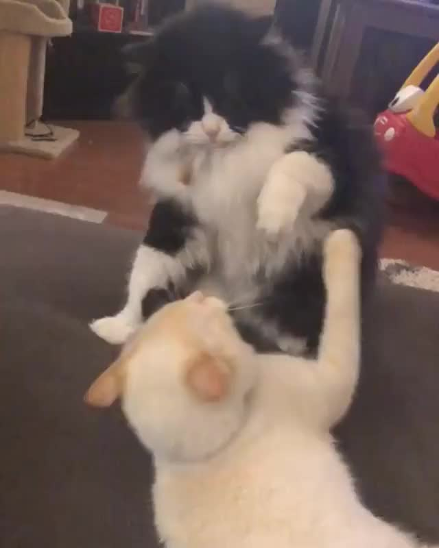 Watch /r/CatsBeingCats - Video by xojt13 GIF by @cakejerry on Gfycat. Discover more related GIFs on Gfycat
