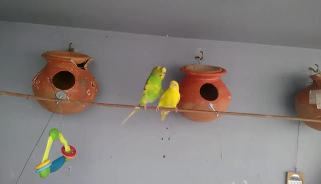 Budgies/parakeets mating & dance in our R.P farm GIFs