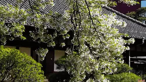 Watch and share Cherry Blossom GIFs and Uploads GIFs on Gfycat
