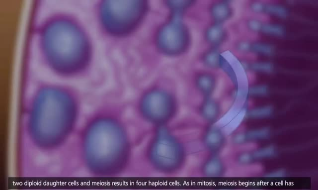 Watch Meiosis [3D Animation] GIF by @georgefreeman42 on Gfycat. Discover more Animation, Crossing Over and Variability, Education, McGraw-Hill Animations, Meiosis, genetics, molecular biology GIFs on Gfycat