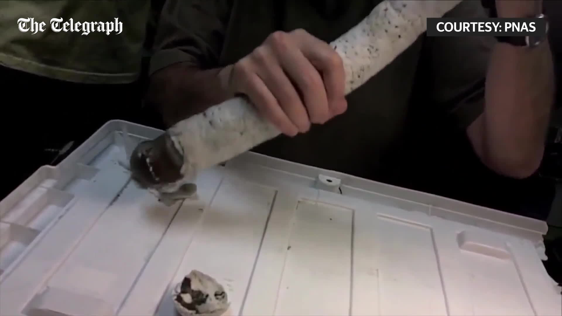 gifsthatendtoosoon, Scientists extract rare giant shipworm from shell in toe-curling video GIFs