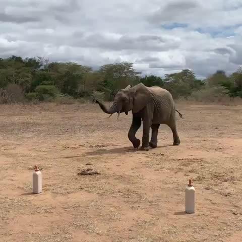 africa, banivory, banivoryworldwide, bantrophyhunting, elephant blue 88 🐘💙, elephants, elephantstorieswithfiona, fosteranorphanelephant, ivorybelongsonelephants, kenya, kibweziforest., mwashoti,, nairobinursey, orphanbabyelephants, orphanelephants, saveourelephants, sheldrickwildlifetrust., umanisprings, #Mwashoti, my foster baby. He can drink by himself now...... He is a snare victim, traps that lay hidden in the bush, silent and deadly, the GIFs