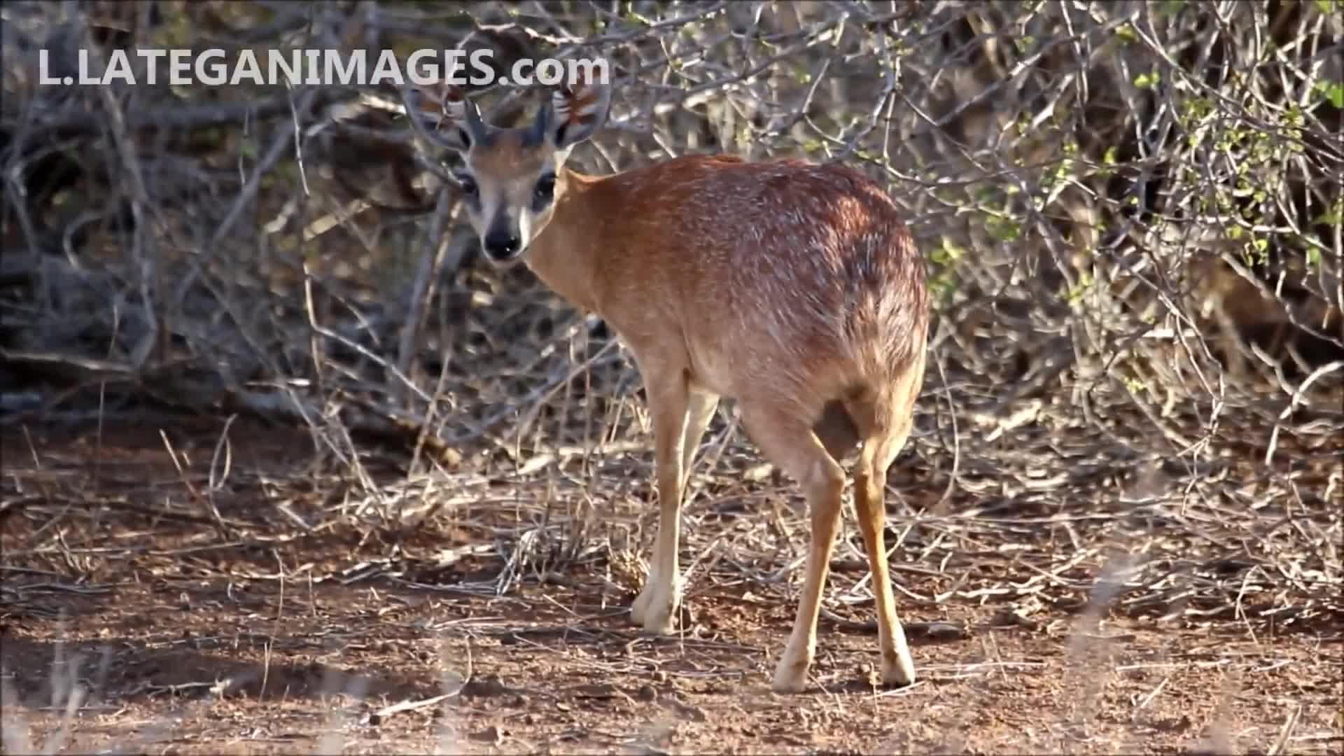 Grysbok, Mammals of Southern Africa, Northern Grysbok, Pets & Animals, Sharpe`s Grysbok, l lategan images, liaan lategan, Sharpe's Grysbok or Northern Grysbok Raphicerus sharpei GIFs