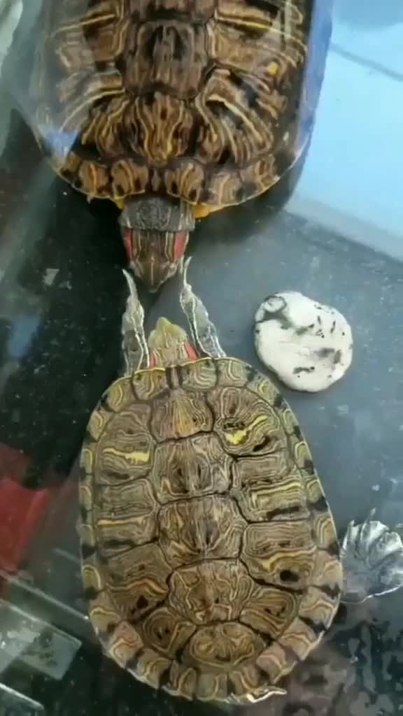 Watch The slapping turtle 😂 GIF on Gfycat. Discover more related GIFs on Gfycat