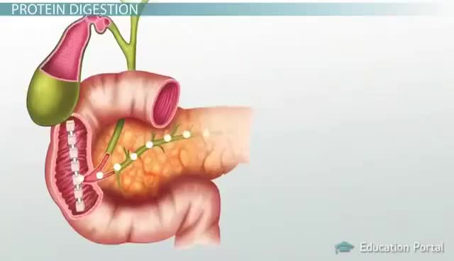 Watch and share Protein Digestion And Absorption (Process) GIFs on Gfycat