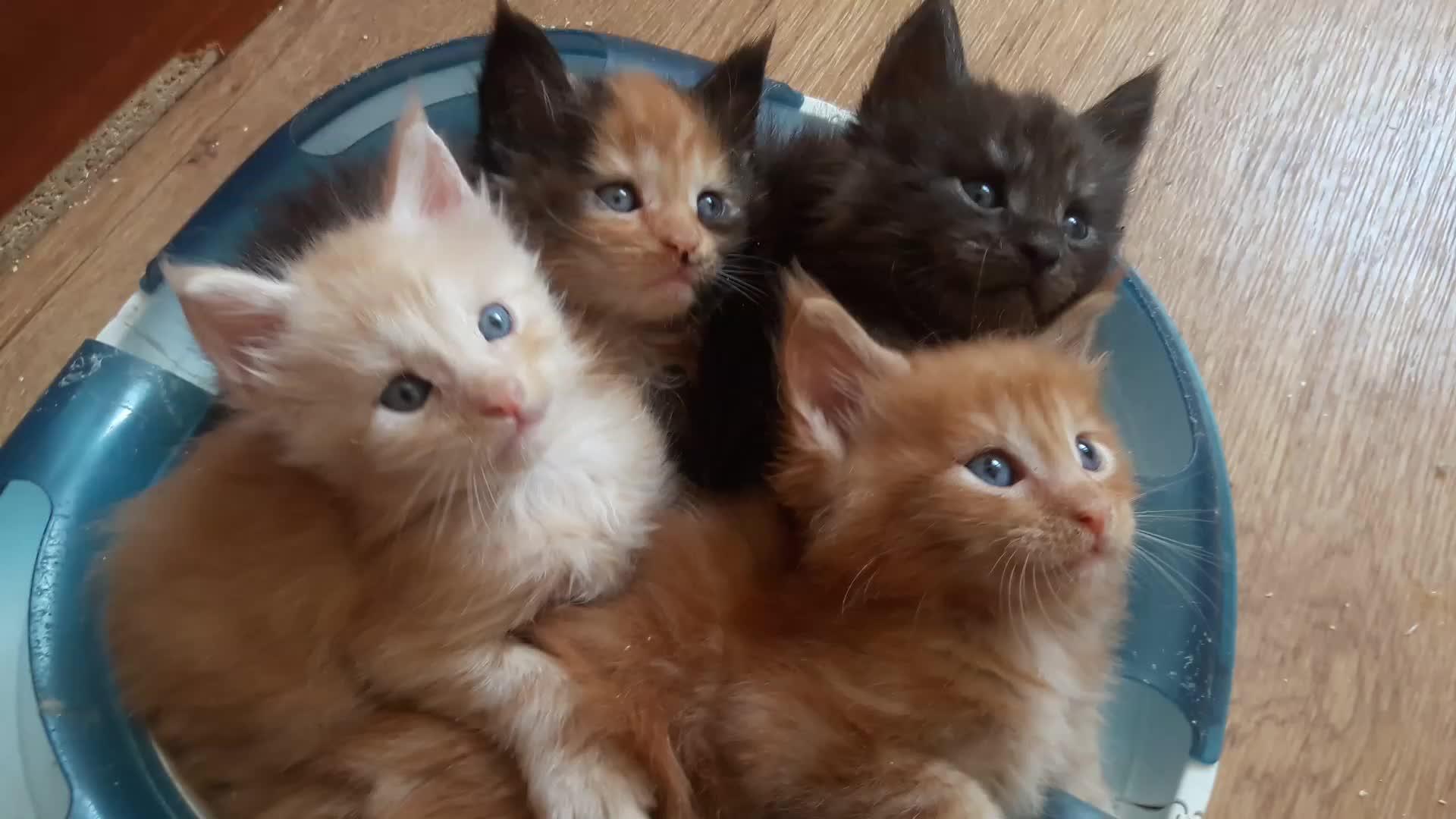 cats, Cute kittens Maine Coon GIFs