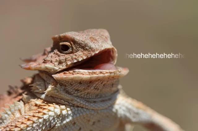 Watch and share Hehehe Lizard GIFs on Gfycat