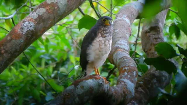Watch Slaty-backed Forest-Falcon at the Canopy Tower, Panama GIF by @likkaon on Gfycat. Discover more canopy tower, raptor, slaty-backed forest-falcon GIFs on Gfycat