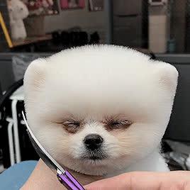 awwwww, cute, dog, haircut, This cute haircut... GIFs