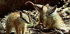 Watch and share The Life Of Mammals GIFs and David Attenborough GIFs on Gfycat