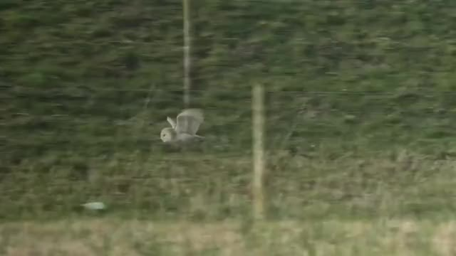 Watch and share Barn Owls Hunting GIFs on Gfycat