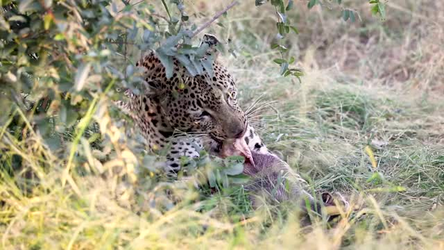 Watch and share Leopard Uses Tool GIFs by Londolozi Game Reserve on Gfycat