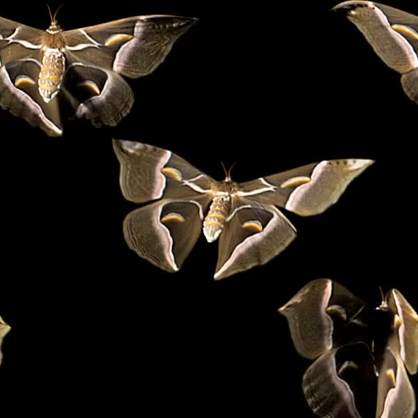 Watch Continuous Cynthia moths #2 GIF by @pekuska on Gfycat. Discover more aww, flight, moth, slow motion GIFs on Gfycat