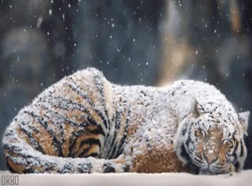Watch and share Sleeping GIFs and Tiger GIFs on Gfycat