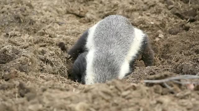 Watch and share Honey Badger Sergey GIFs by Londolozi Game Reserve on Gfycat