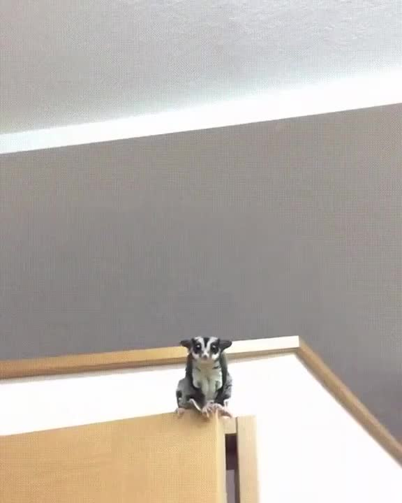 Watch and share Sugar Glider Incoming GIFs by tothetenthpower on Gfycat